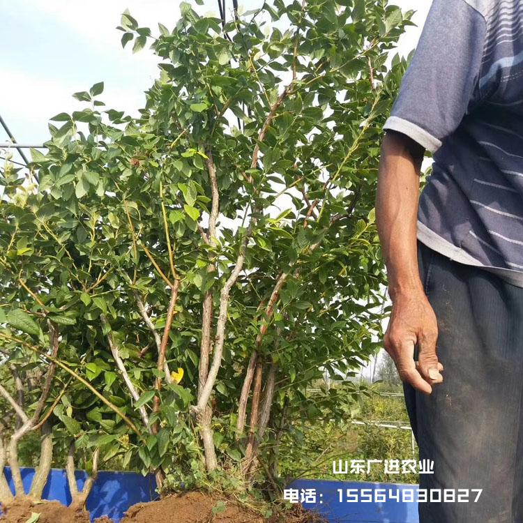 多年生蓝莓树苗起苗装车发货