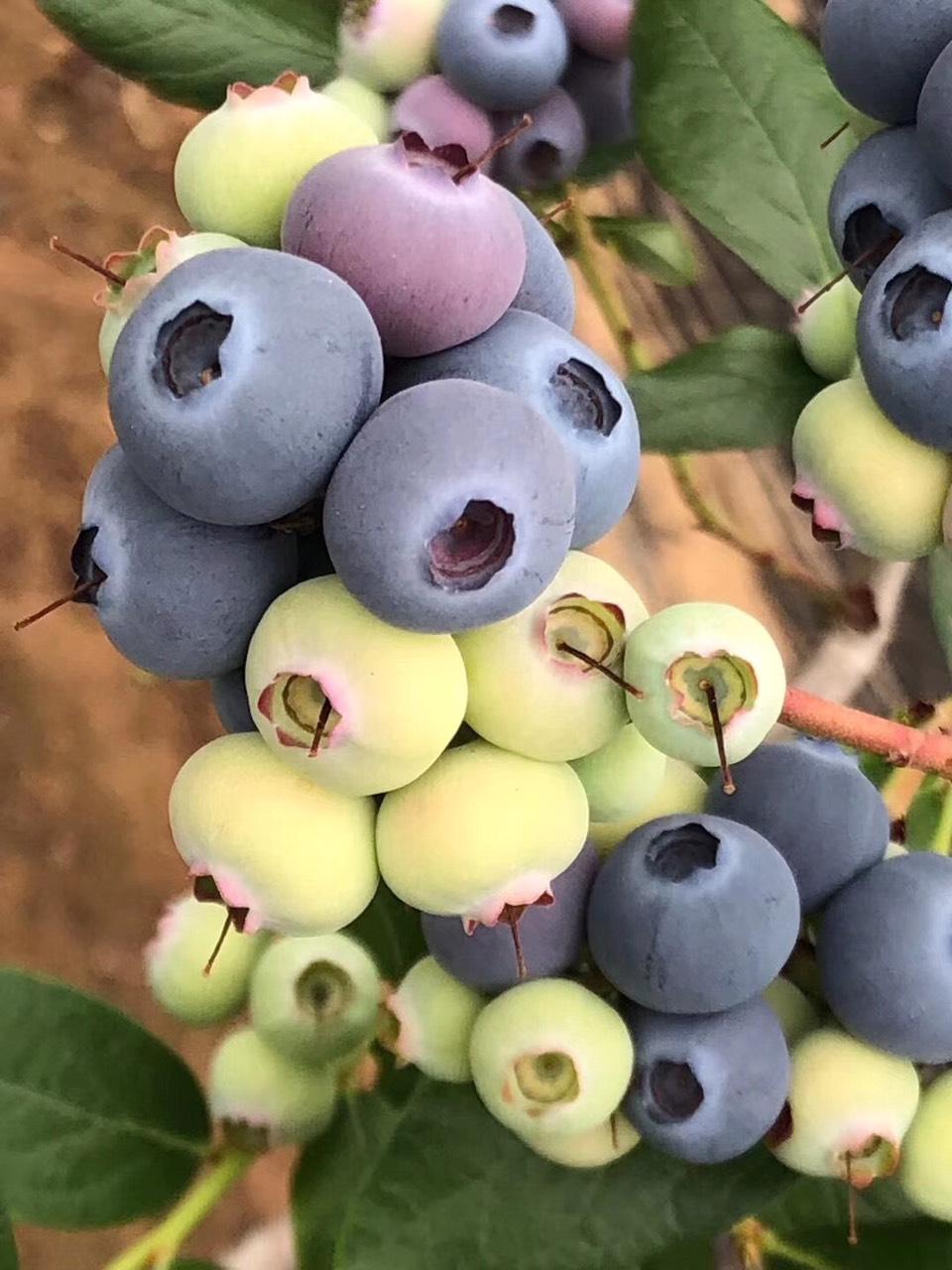 杜克蓝莓苗多少钱一棵_杜克蓝莓适合哪些地区种植
