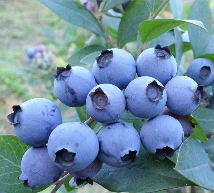 蓝丰蓝莓苗多少钱一颗_经典的北高丛蓝莓苗