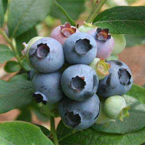 绿宝石蓝莓苗价格_绿宝石蓝莓品种介绍