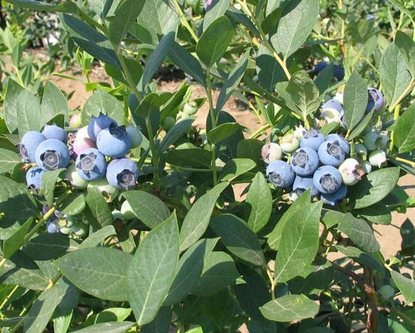 明星蓝莓苗品种介绍