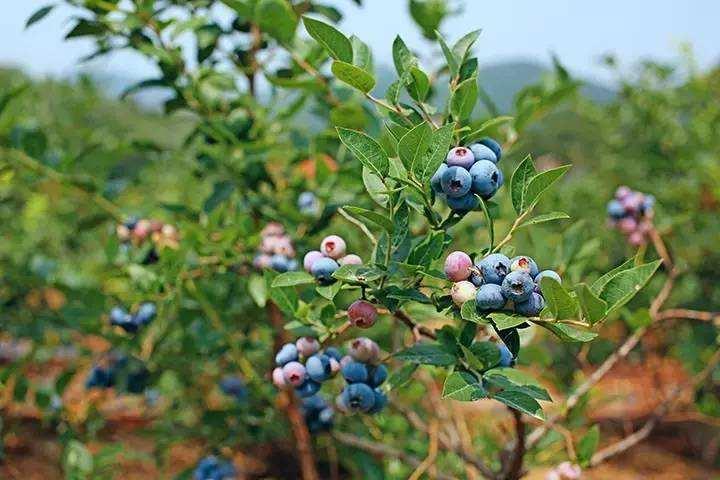 卡拉蓝莓苗多少钱一棵