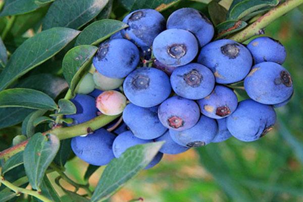 布里吉塔蓝莓苗