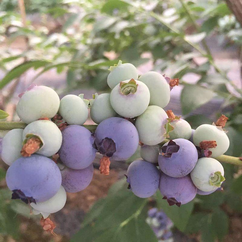 珠宝蓝莓苗的价钱