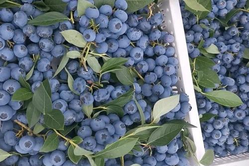薄雾蓝莓苗