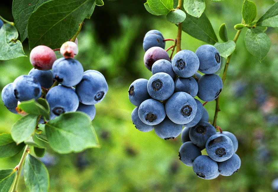 阳台种绿宝石蓝莓苗多少钱一棵
